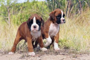You Can Bet On Boxer Puppies Petland Summerville