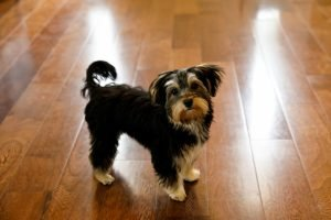 morkie puppies, Need-to-Know Info about Morkie Puppies