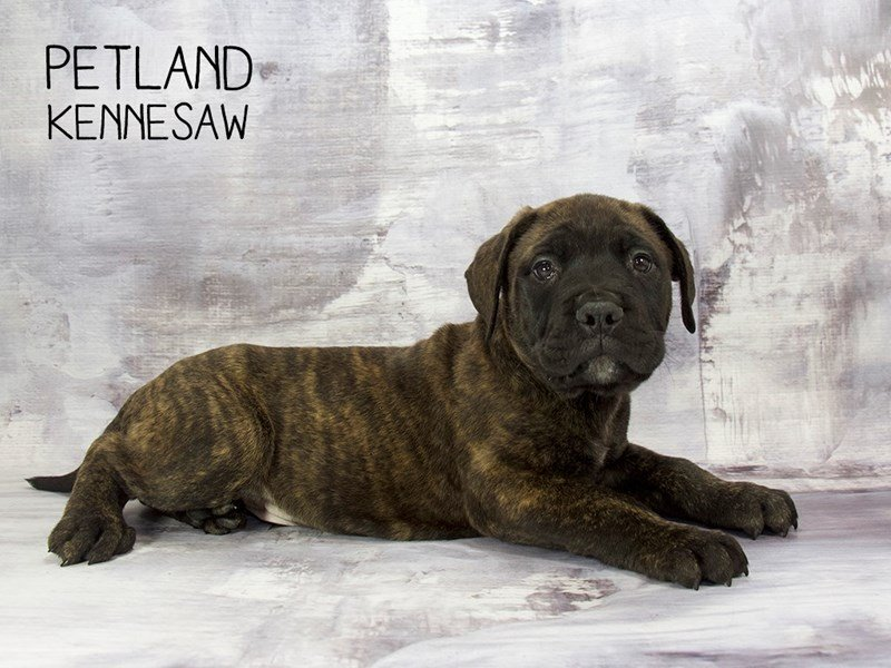 Bullmastiff-Male-Brindle-2200226-Petland Kennesaw