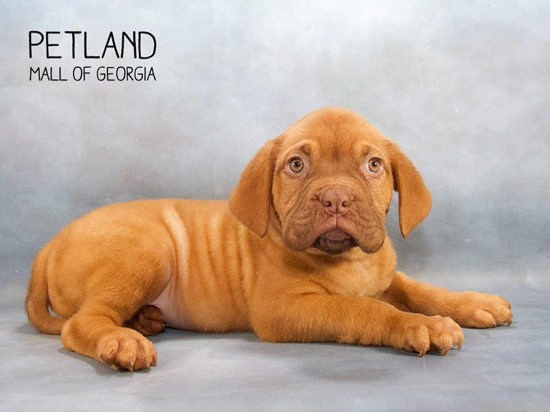 Dogue De Bordeaux-Male-RD-2203482-Petland Kennesaw