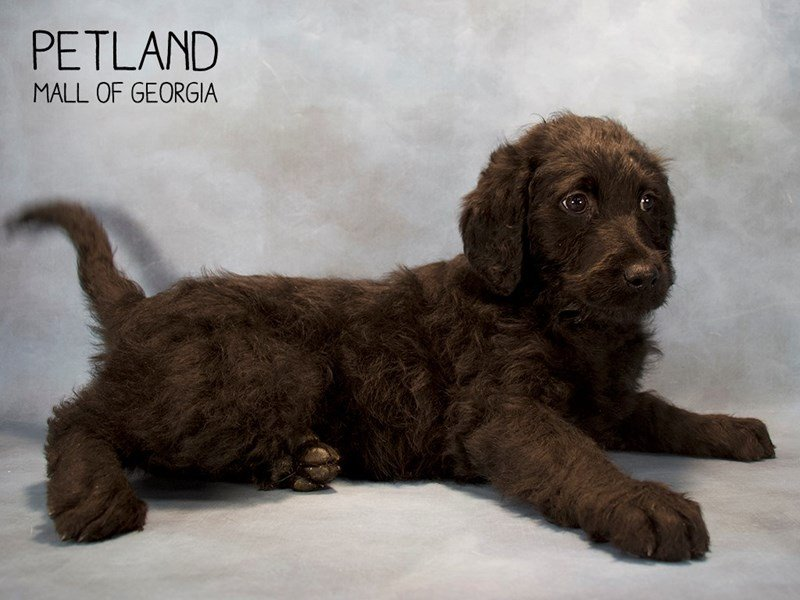 Labradoodle-Female-Yellow-2222364-Petland Kennesaw
