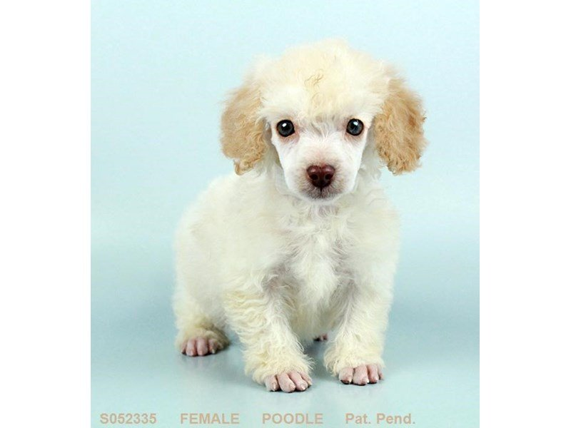Miniature Poodle Puppies Breed Info Petland Kennesaw