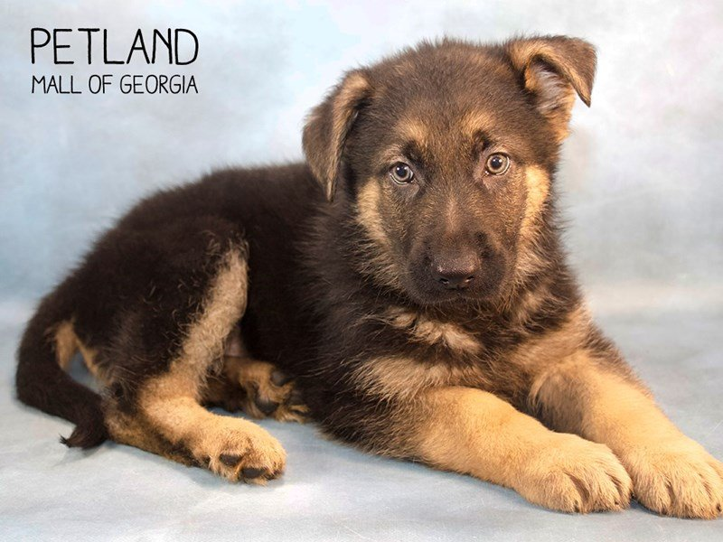 German Shepherd-Male-Black and Tan-2238095-Petland Kennesaw