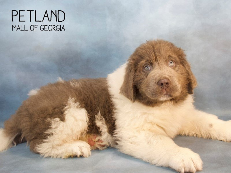 Newfoundland Puppies Breed Info Petland Kennesaw