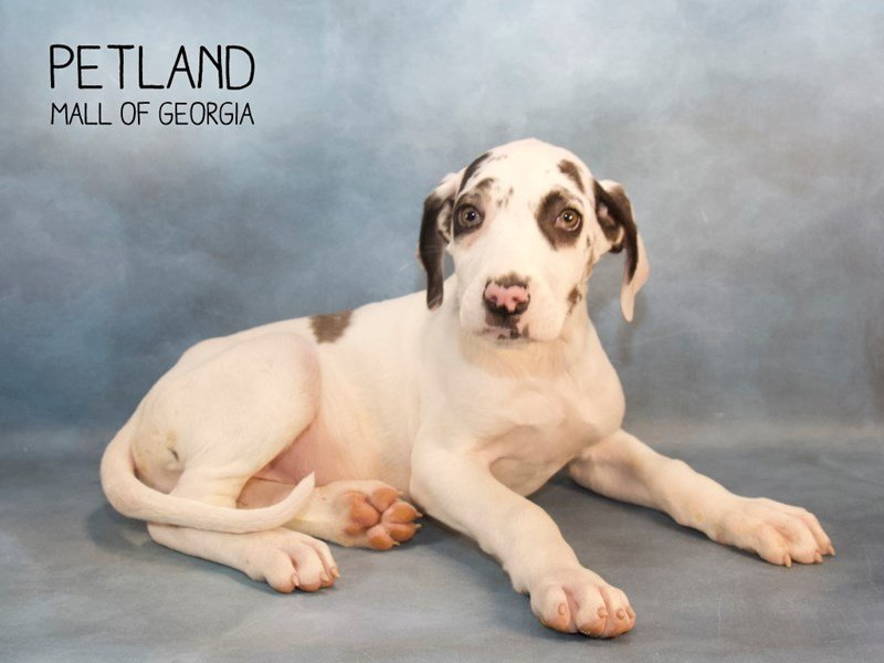 Great Dane-Female-White-2240328-Petland Kennesaw