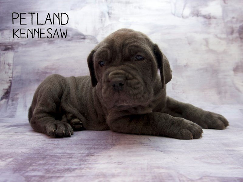 Neapolitan Mastiff-Female-Blue-2241990-Petland Kennesaw