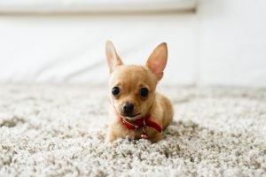 Faqs For Short Haired Puppies Petland Mall Of Ga