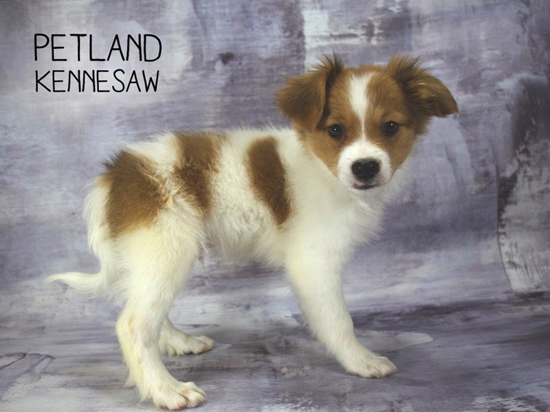 Papillon-Male-Sable / White-2219510-Petland Kennesaw