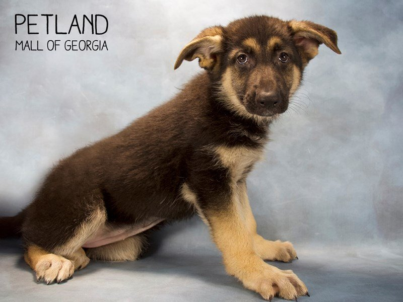 German Shepherd-Female-Black Tan-2222199-Petland Kennesaw