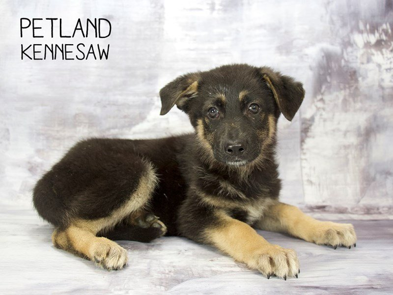 German Shepherd-Male-Black and Tan-2222232-Petland Kennesaw