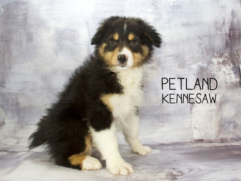 Australian Shepherd-Male-Black-2223223-Petland Kennesaw