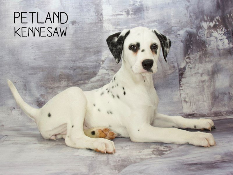 Dalmatian-Female-White / Black-2223237-Petland Kennesaw