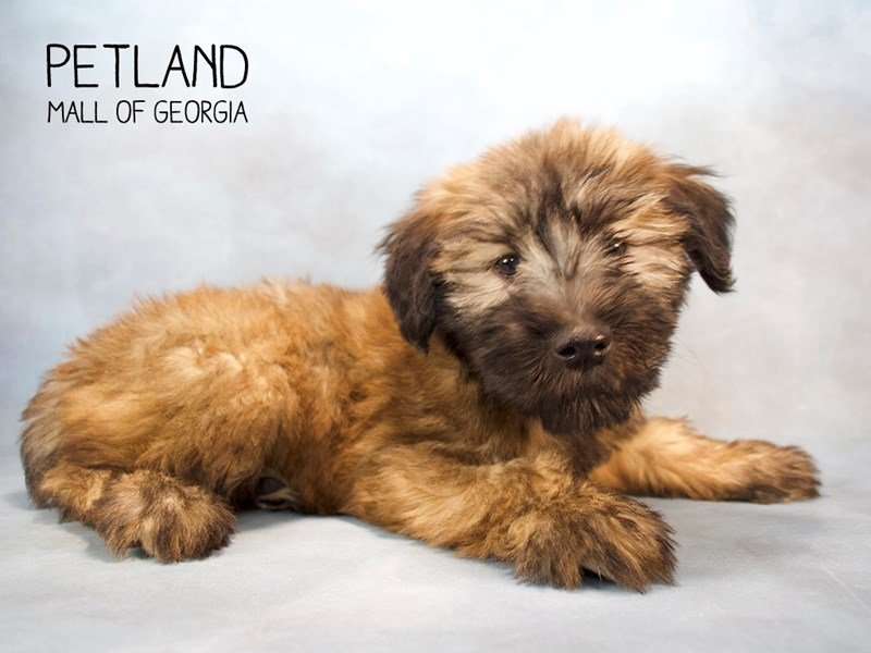 Soft Coated Wheaten Terrier-Female-Wheaten-2228460-Petland Kennesaw