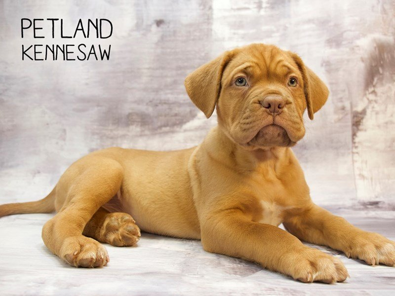Dogue De Bordeaux-DOG-Female-RD-2232470-Petland Kennesaw