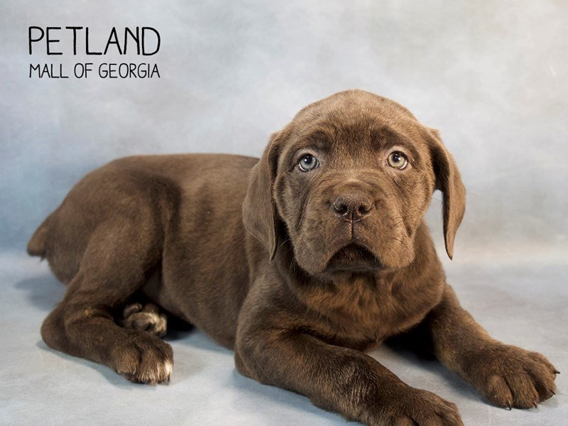 Cane Corso-Female-Blue-2240323-Petland Kennesaw