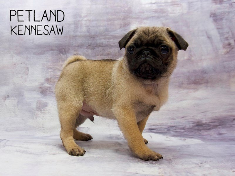 Pug-DOG-Male-Fawn-2245953-Petland Kennesaw
