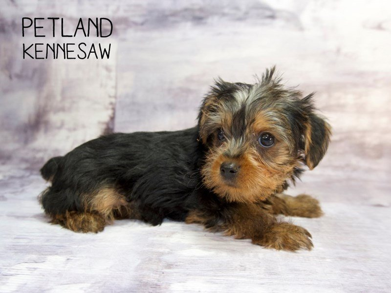 Adopted Female Yorkshire Terrier 81849