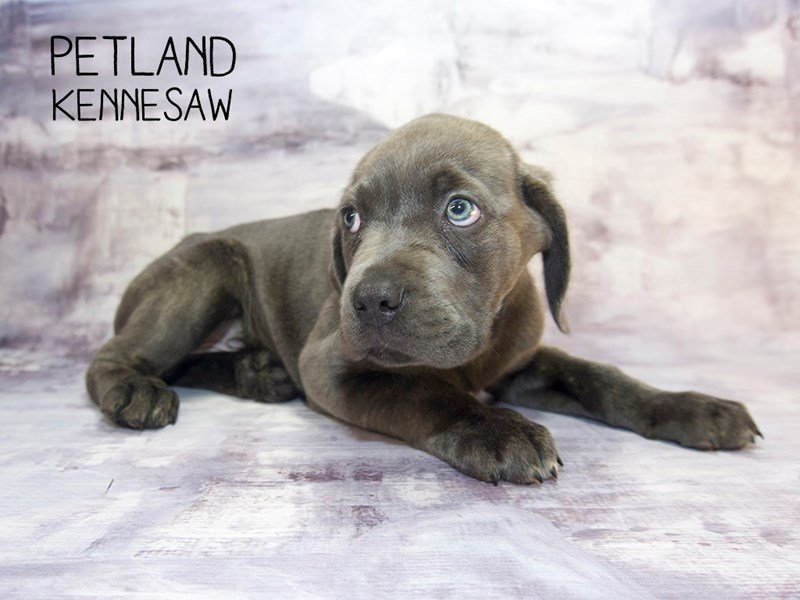 Cane Corso-Male-Blue Brindle-2249073-Petland Kennesaw