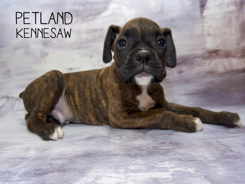 Boxer-Male-Brindle / White-2255036-Petland Kennesaw
