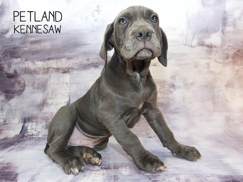 Neapolitan Mastiff-Male-Blue-2260691-Petland Kennesaw