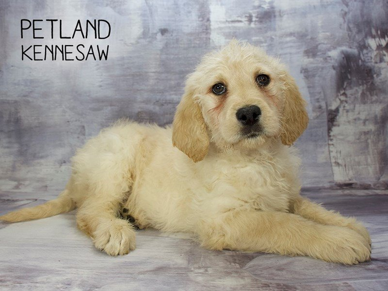 Labradoodle-Male-Yellow-2222361-Petland Kennesaw