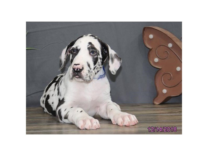 Great Dane-Male-Harlequin-2240315-Petland Kennesaw