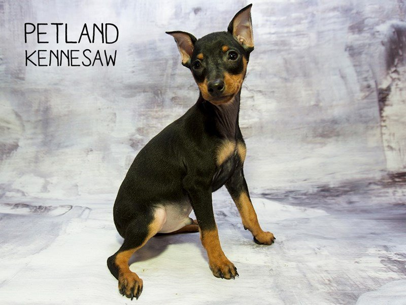 Miniature Pinscher-Male-Black / Tan-2245961-Petland Kennesaw