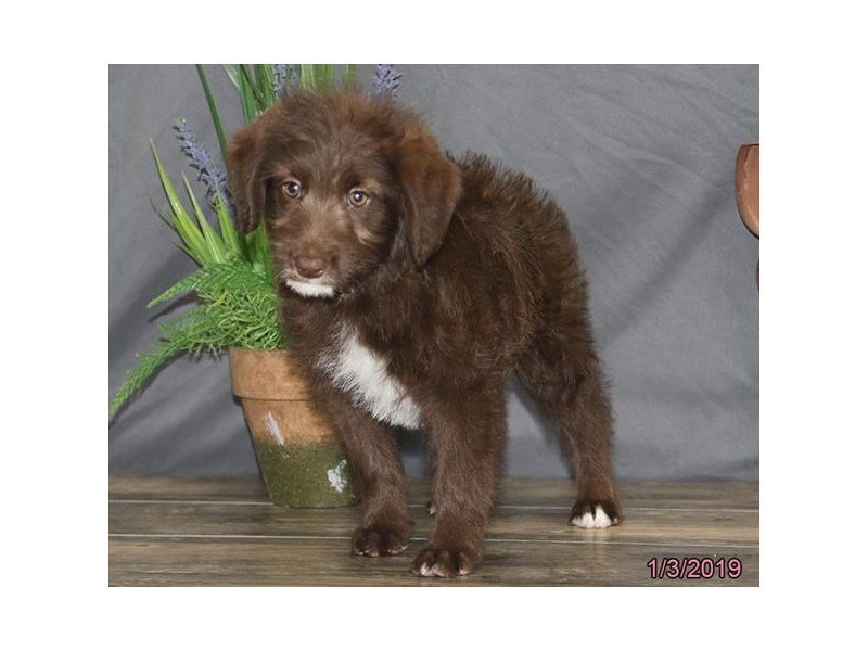 Labradoodle-Female-Chocolate-2255045-Petland Kennesaw