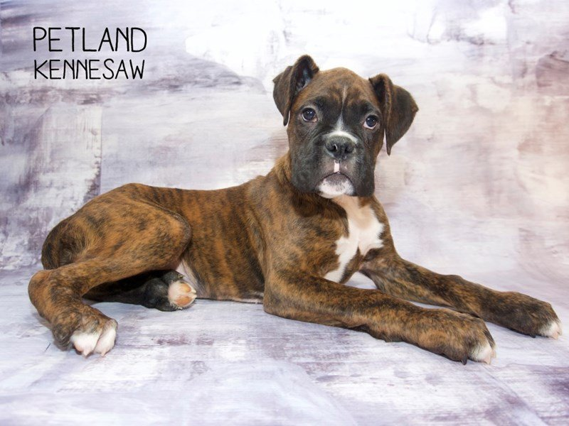 Boxer-Male-Brindle-2260737-Petland Kennesaw