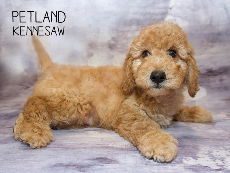 Miniature Goldendoodle