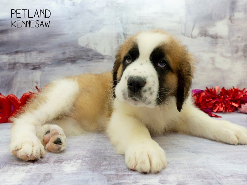 Saint Bernard-Male-Brown / White-2270888-Petland Kennesaw