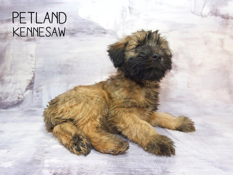 Soft Coated Wheaten Terrier-Female-Wheaton-2248960-Petland Kennesaw