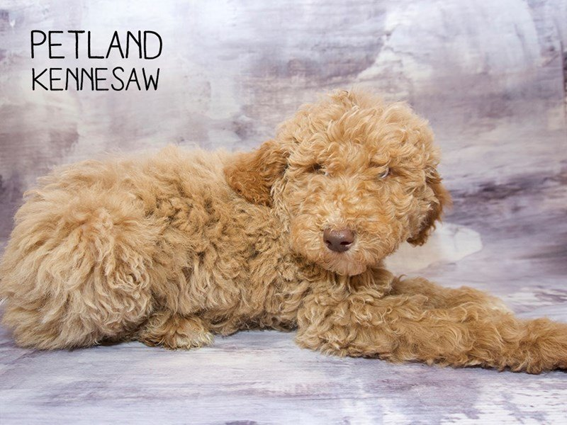 Poodle-Male-Red-2265822-Petland Kennesaw
