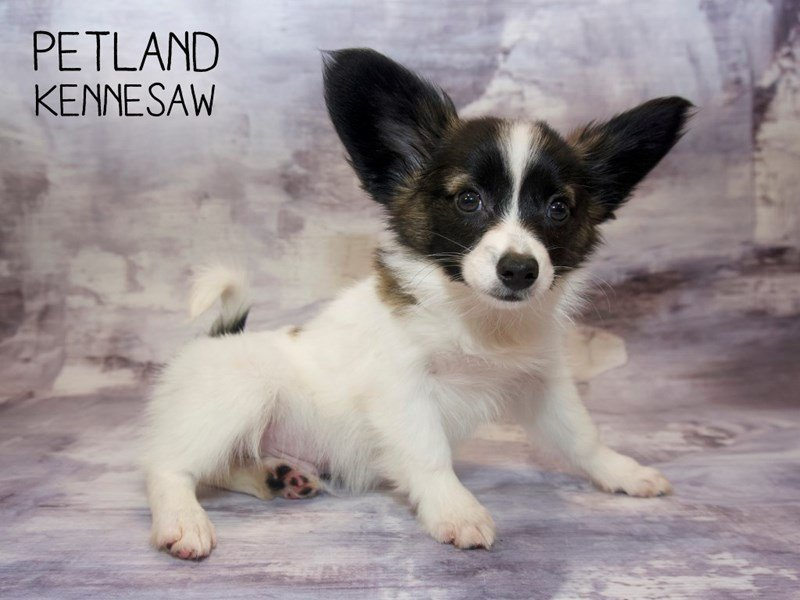 Papillon-Male-Brown / White-2265835-Petland Kennesaw