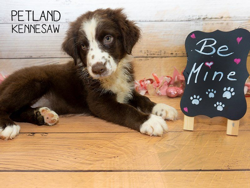 Australian Shepherd-Male-Brown / White-2275636-Petland Kennesaw