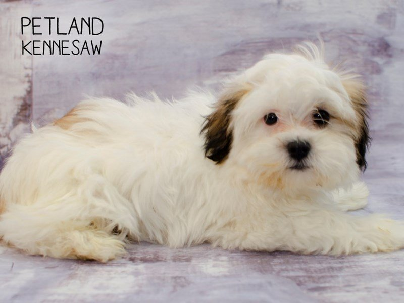 Malshih-DOG-Male-White / Red Sable-2281538-Petland Kennesaw