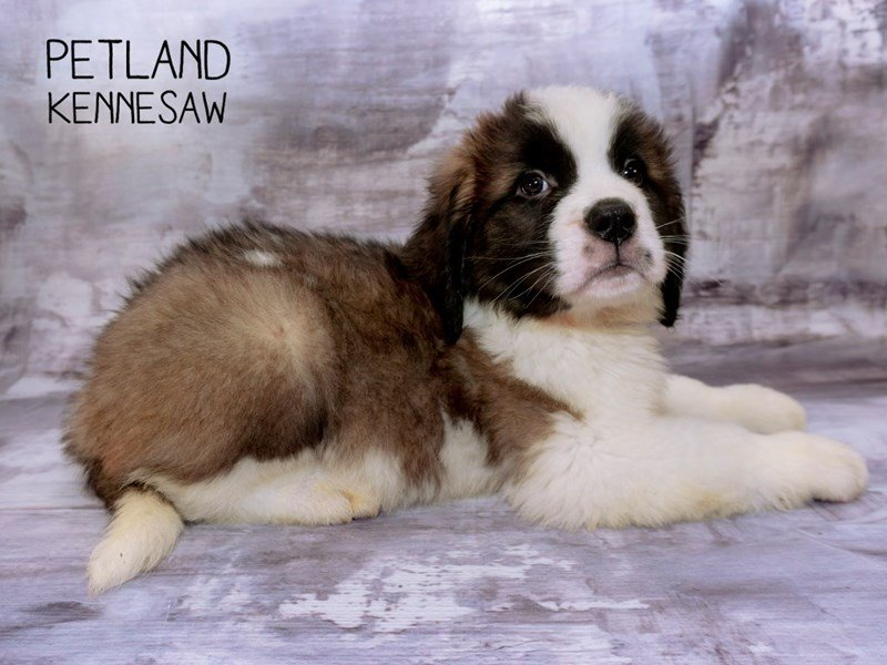 Saint Bernard-Male-Brown / White-2287296-Petland Kennesaw