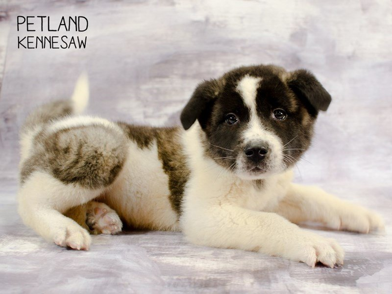 Akita-Male-Gray / Black-2292917-Petland Kennesaw