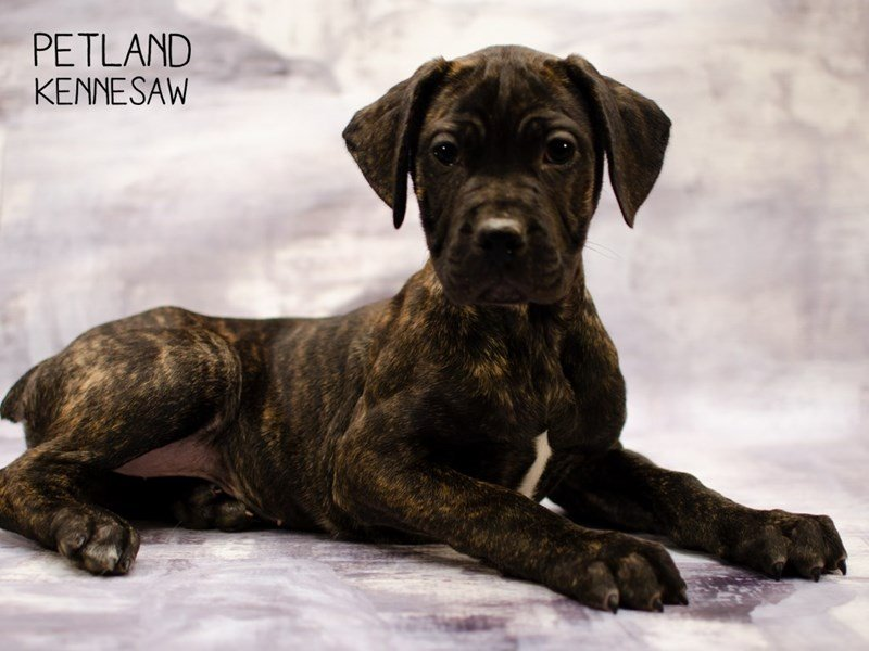 Cane Corso-Female-Black Brindle-2292844-Petland Kennesaw