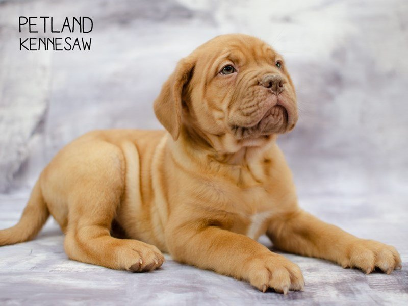 Dogue De Bordeaux-DOG-Male-RD-2291366-Petland Kennesaw