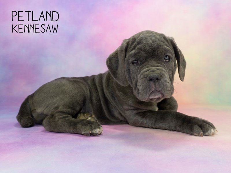 Neapolitan Mastiff-Female-Blue-2297625-Petland Kennesaw
