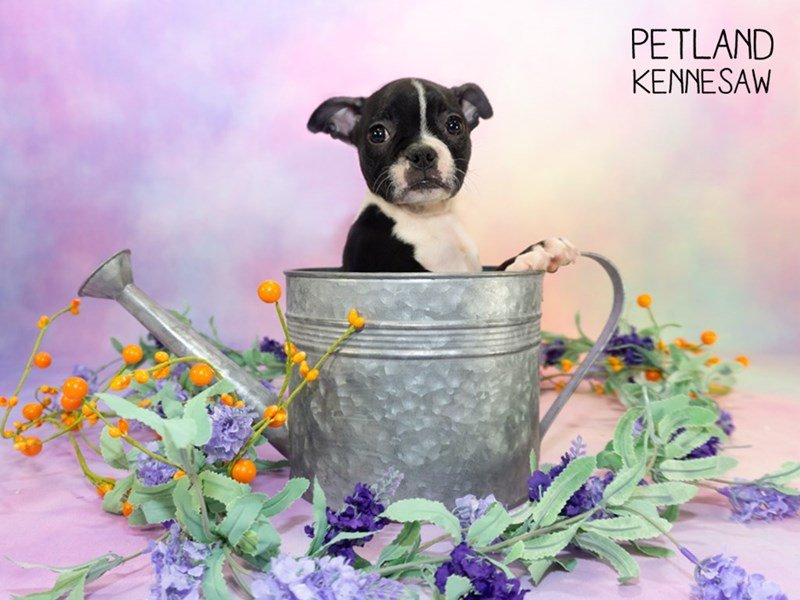 Boston Terrier-Female-Black / White-2303077-Petland Kennesaw