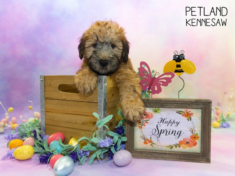 Soft Coated Wheaten Terrier-Male-Wheaten-2309686-Petland Kennesaw