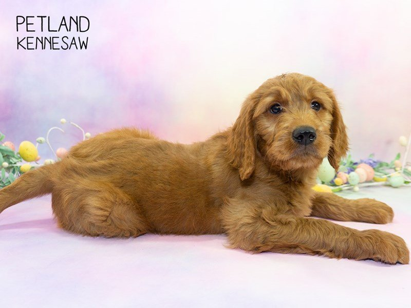 Goldendoodle-Male-Dark Red-2308041-Petland Kennesaw