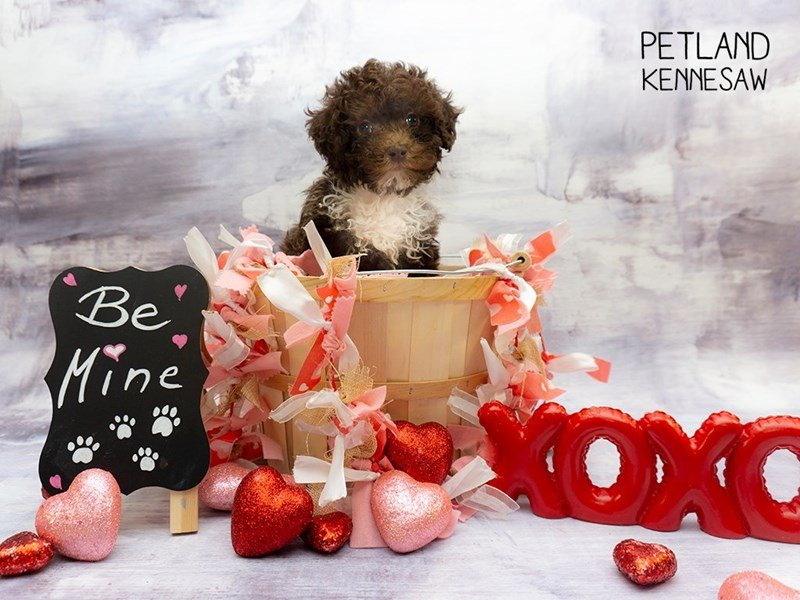 Poodle-Male-Chocolate-2271246-Petland Kennesaw