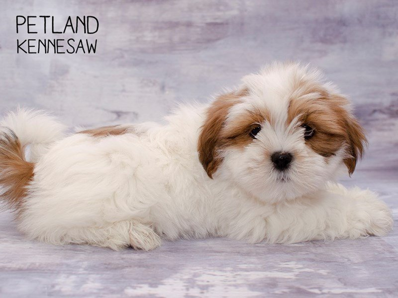 Lhasa Apso-Male-Red / White-2287306-Petland Kennesaw