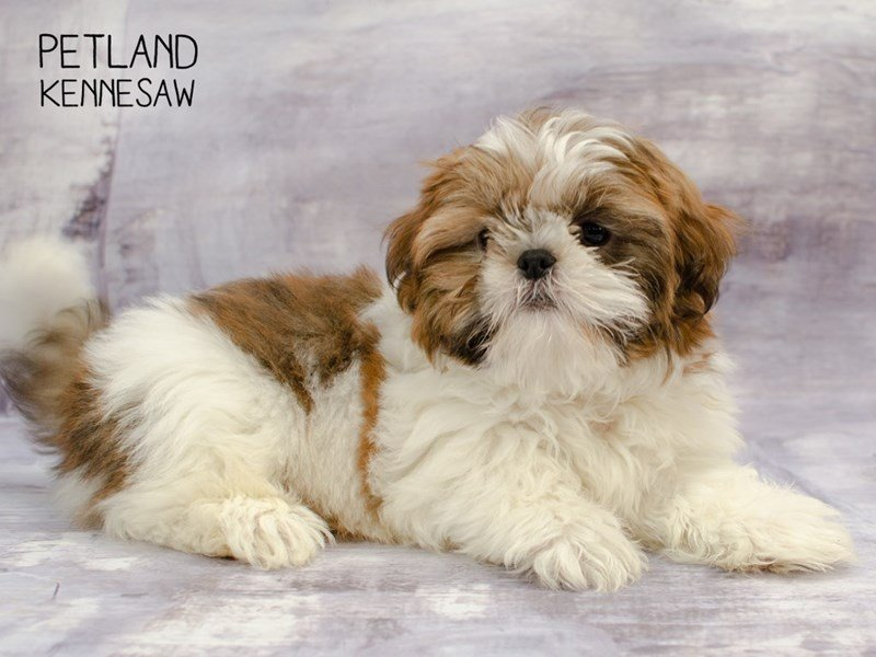 Shih Tzu-Male-White / Red-2292261-Petland Kennesaw