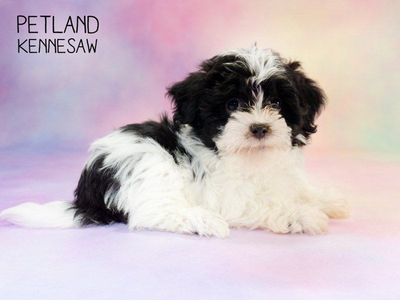 Havanese-Female-Black / White-2297627-Petland Kennesaw