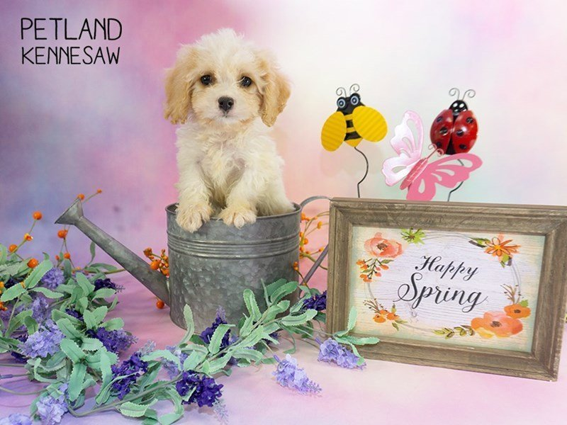Cavachon-Male-White / Tan-2303081-Petland Kennesaw