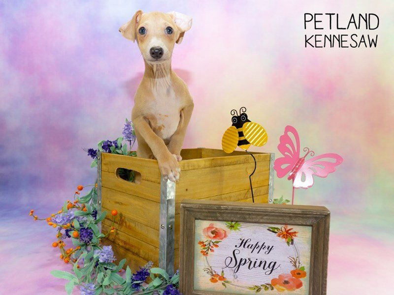 Italian Greyhound-Male-Blue Fawn-2303079-Petland Kennesaw